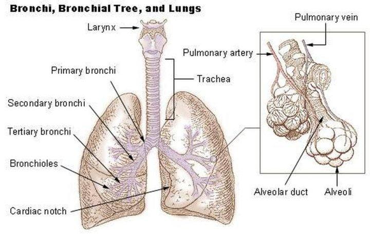 Alveoli of lungs