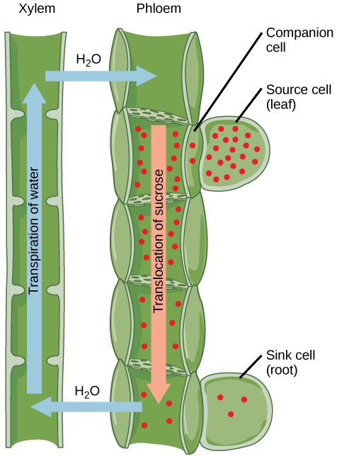 components of the transport system in highly organised plants