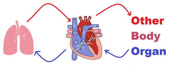 Double circulation in human