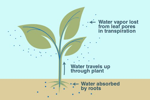 water absorption by plants.