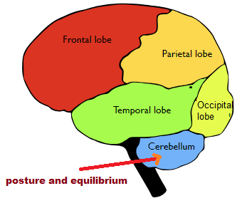 part of the brain maintains posture and equilibrium of the body