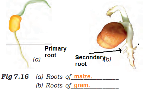 Difference in root of gram and maize