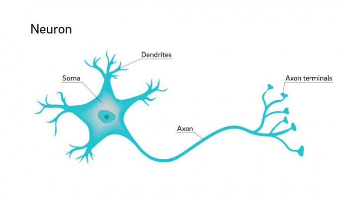 structure of a neuron and explain its function