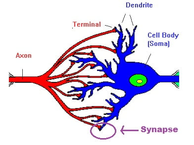 Synapse between two neurons?