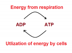 similarity and differences between respiration combustion