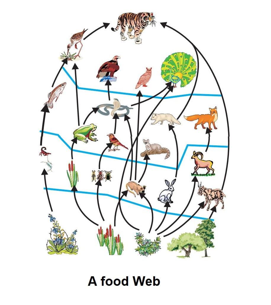 Human Food Web Diagram
