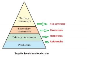 tropic levels in a food chain