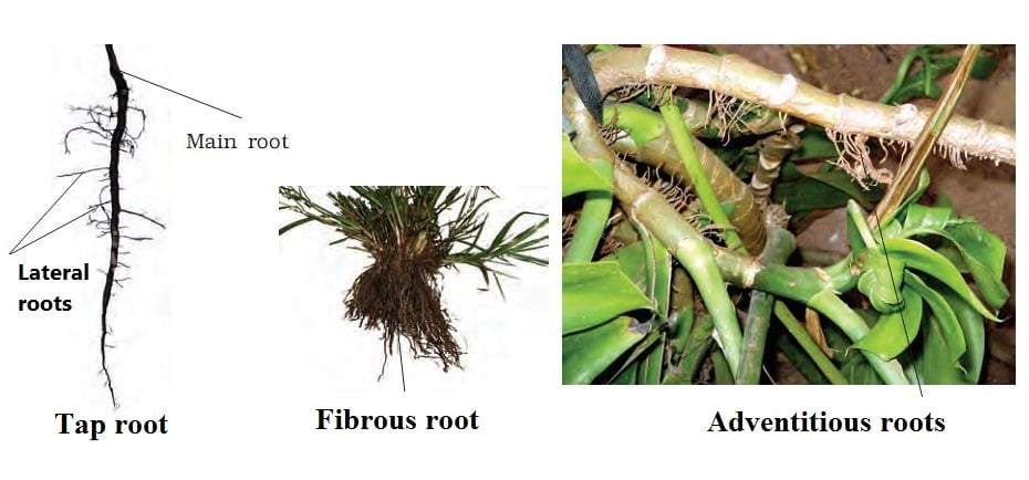 Morphology of Flowering plants MCQ