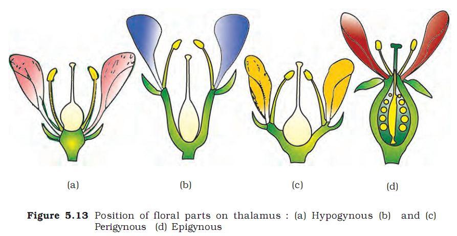hypogynous perigynous epigynous