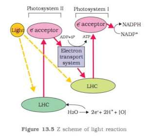 Photosynthesis in Higher Plants MCQ/Objective questions Chapter 13 Biology