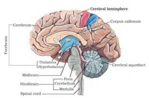 Neural Control and Coordination MCQ