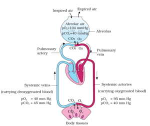 Breathing and Exchange of Gases MCQ